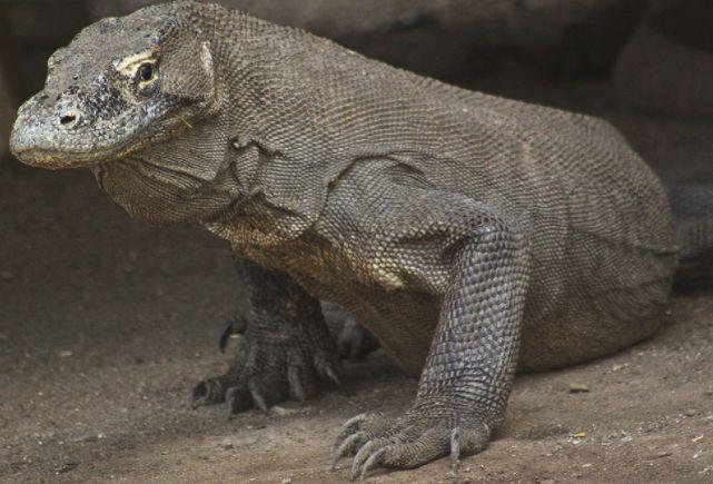 Komodo Masuk Daftar Merah Hewan Terancam Punah